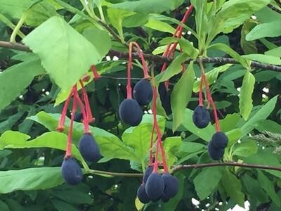 Oemleria cerasiformis - Indian Plum