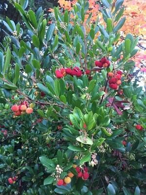 Arbutus unedo 'Compacta' - Strawberry Tree