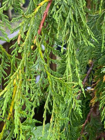 Cupressus (Callitropsis) nootkatensis - Alaskan Cedar