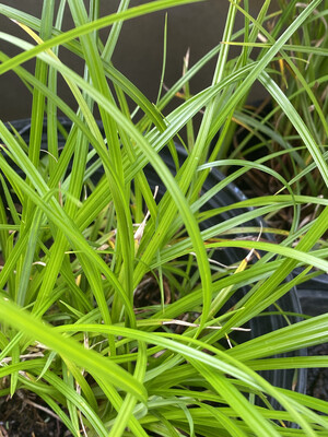 Carex obnupta - Slough Sedge