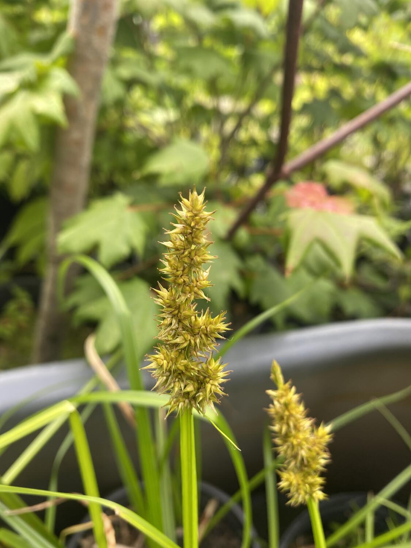 Carex stipata - Owlfruit Sedge