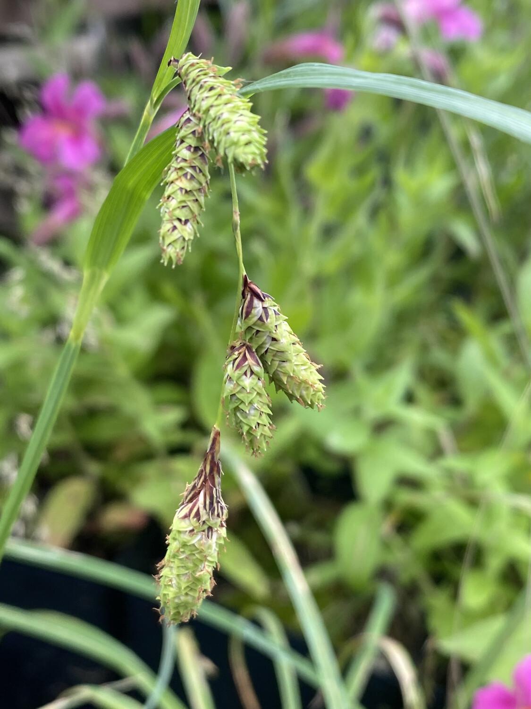 Carex lyngbyei - Lyngbye's Sedge