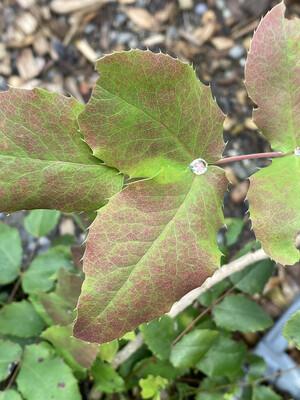 Mahonia (Berberis) repens - Creeping Oregon Grape