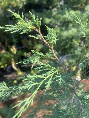 Juniperus scopulorum - Rocky Mountain Juniper