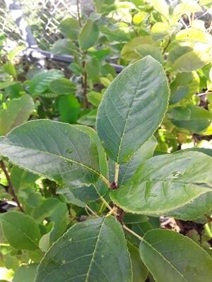 Prunus virginiana - Chokecherry