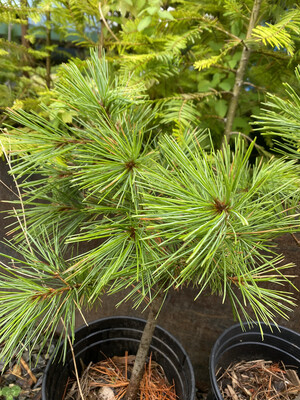 Pinus monticola - Western White Pine