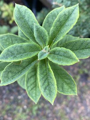 Menziesia ferruginea - False Azalea