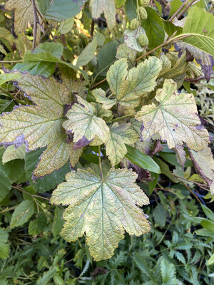 Ribes bracteosum - Stink Currant