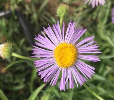 Erigeron philadelphicus - Philadelphia Fleabane