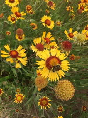 Gaillardia aristata - Blanket Flower