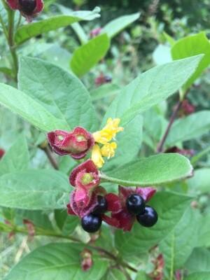 Lonicera involucrata - Black Twinberry
