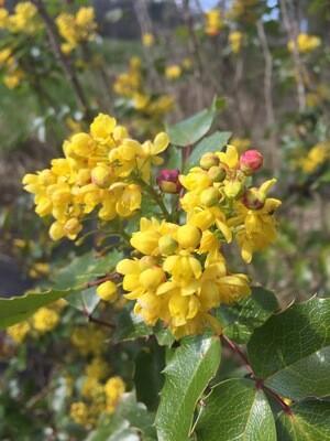 Mahonia (Berberis) aquifolium - Tall Oregon Grape