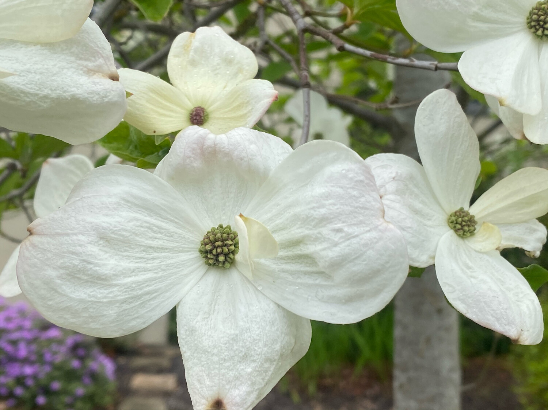 Cornus nuttallii x florida 'Eddie's White Wonder' - White Wonder Flowering Dogwood Tree