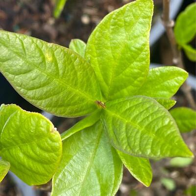 Calycanthus occidentalis - Western Sweetshrub