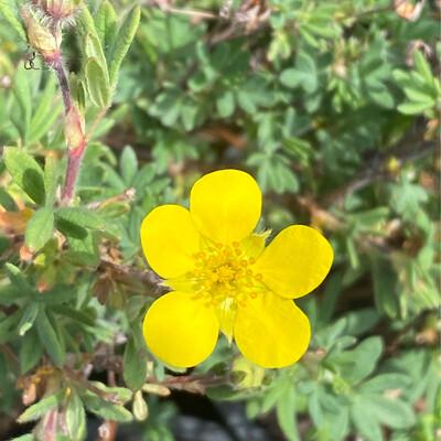 Potentilla (Dasiphora) fruticosa - Shruby Cinquefoil