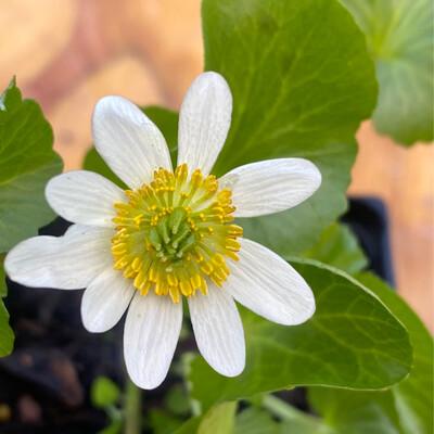 Caltha leptosepala - White Marsh Marigold