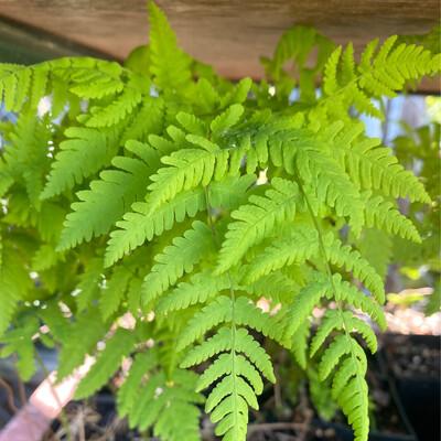 Gymnocarpium disjunctum - Oak fern