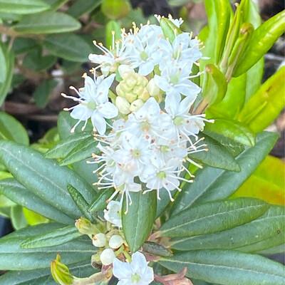 Ledum groenlandicum - Labrador Tea