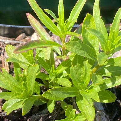 Asclepias fascicularis - Narrow leaved Milkweed