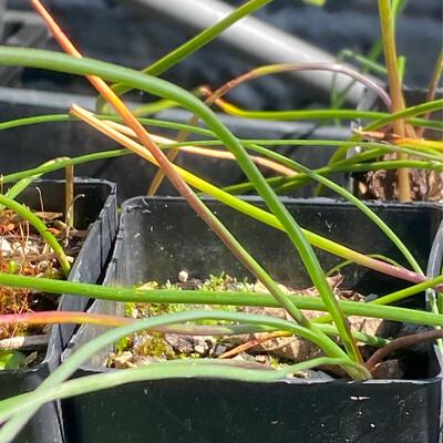 Brodiaea elegans - Harvest Brodiaea