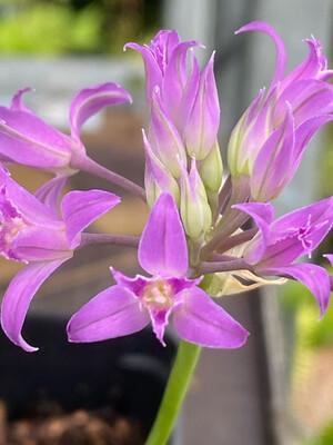 Allium acuminatum - Hooker's Onion
