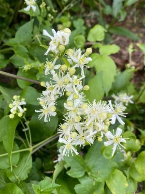 Clematis ligusticifolia - Western White Clematis