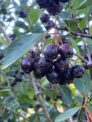 Crataegus douglasii - Black Hawthorn