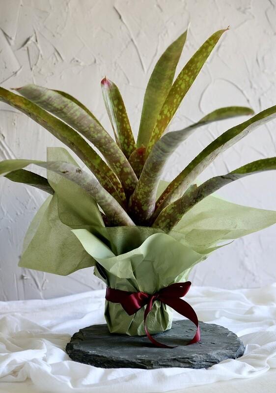 Bromeliad Beauty