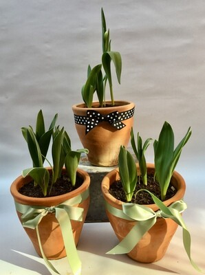 Tulip pots  (Terracotta)