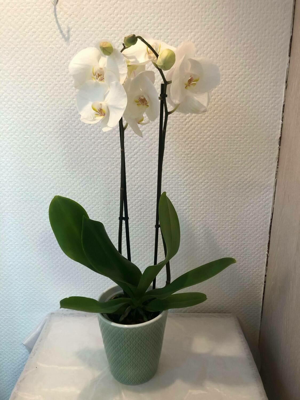 Orchidée blanche avec son cache-pot