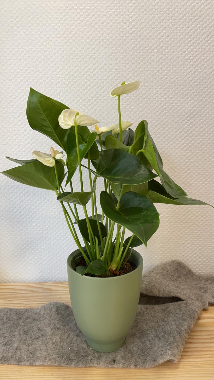 Anthurium blanc avec son cache-pot vert