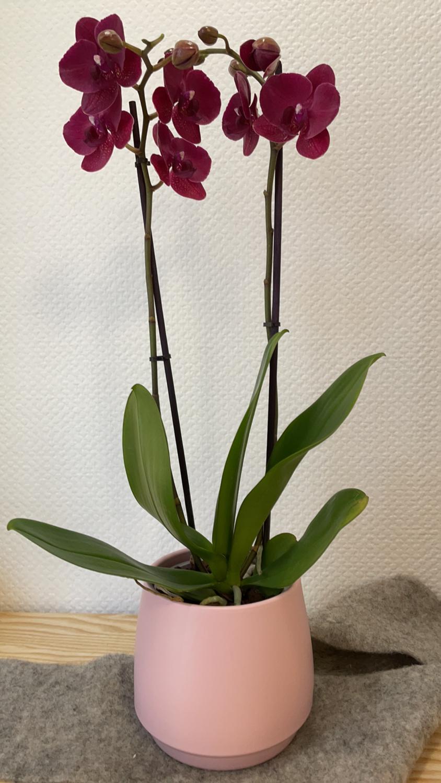 Orchidée bordeaux/rose foncé avec son cache-pot