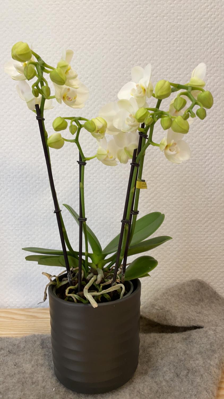 Orchidée blanche 3-4 branches avec son cache-pot