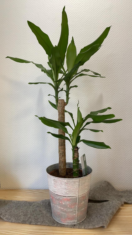Dracaena fragans avec son cache-pot