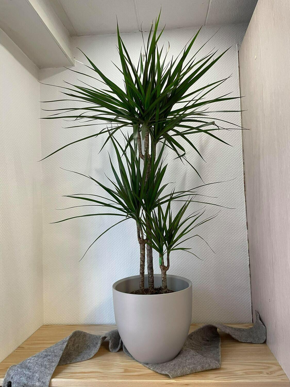 Dracaena marginatia avec son cache pot