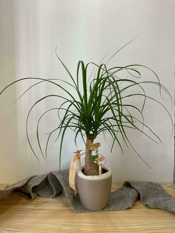 Beaucarnea décoré avec son cache pot