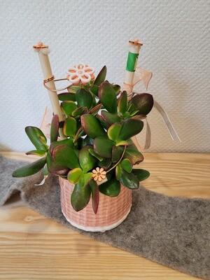 Crassula décoré