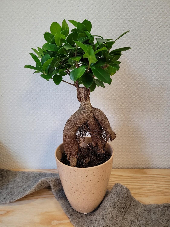 Ficus avec son cache pot