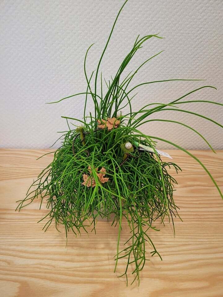 Rhipsalis décoré