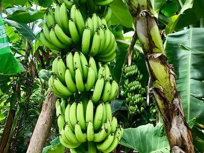 Tour del Banano en La Jorará