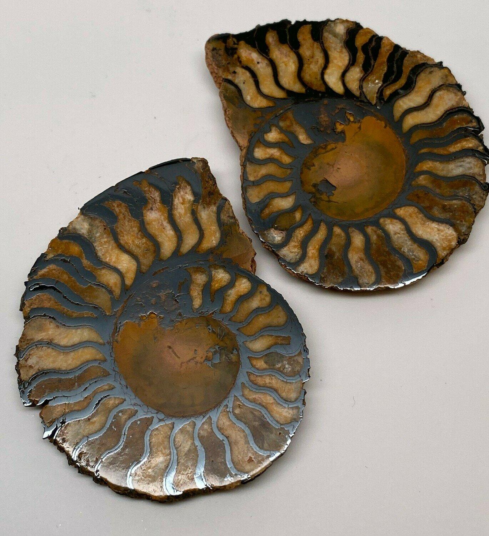 Nautilus Pair - Large