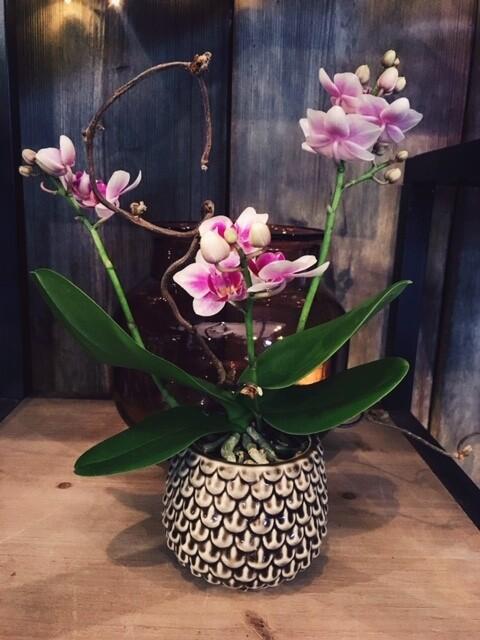 Mini-orchidée