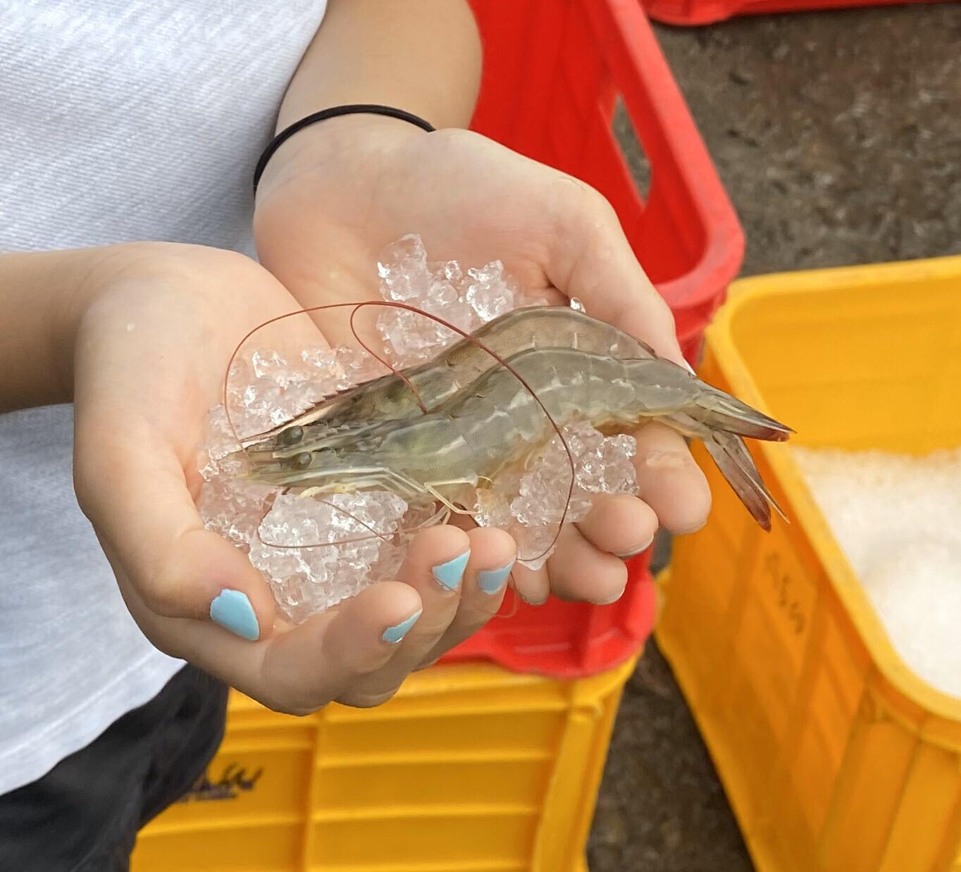 Fresh Vannamei (White Shrimp)