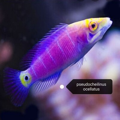 Pseudocheilinus Ocellatus