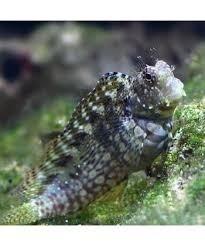 Salarais fasciatus