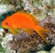 Pseudanthias Squamipinnis (Vrouwlijk)