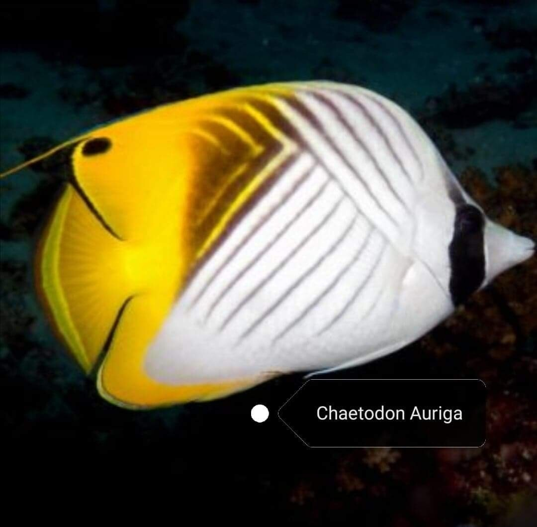 Chaetodon Auriga
