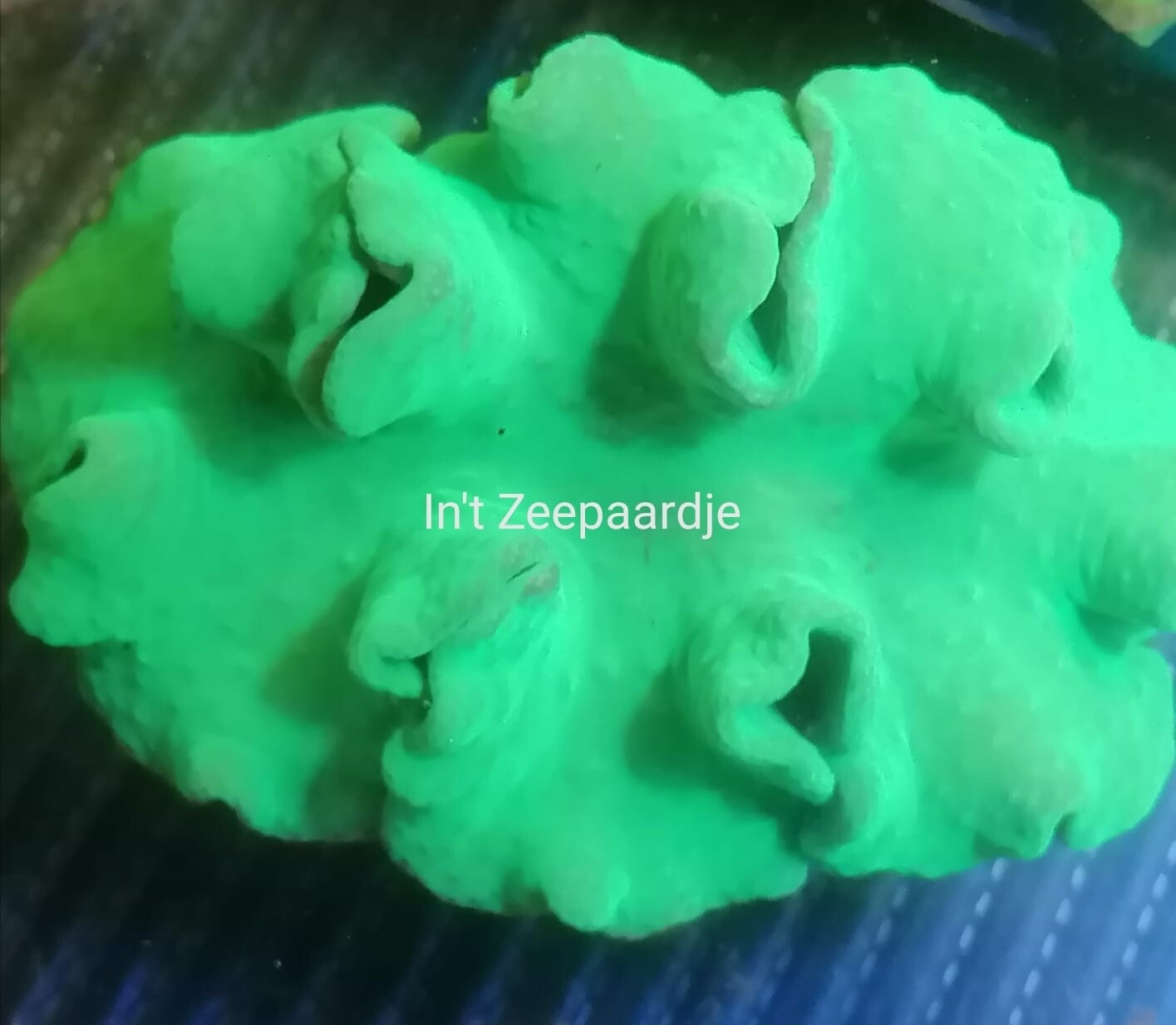 Sinularia green