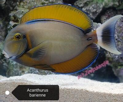 Acanthurus barienne