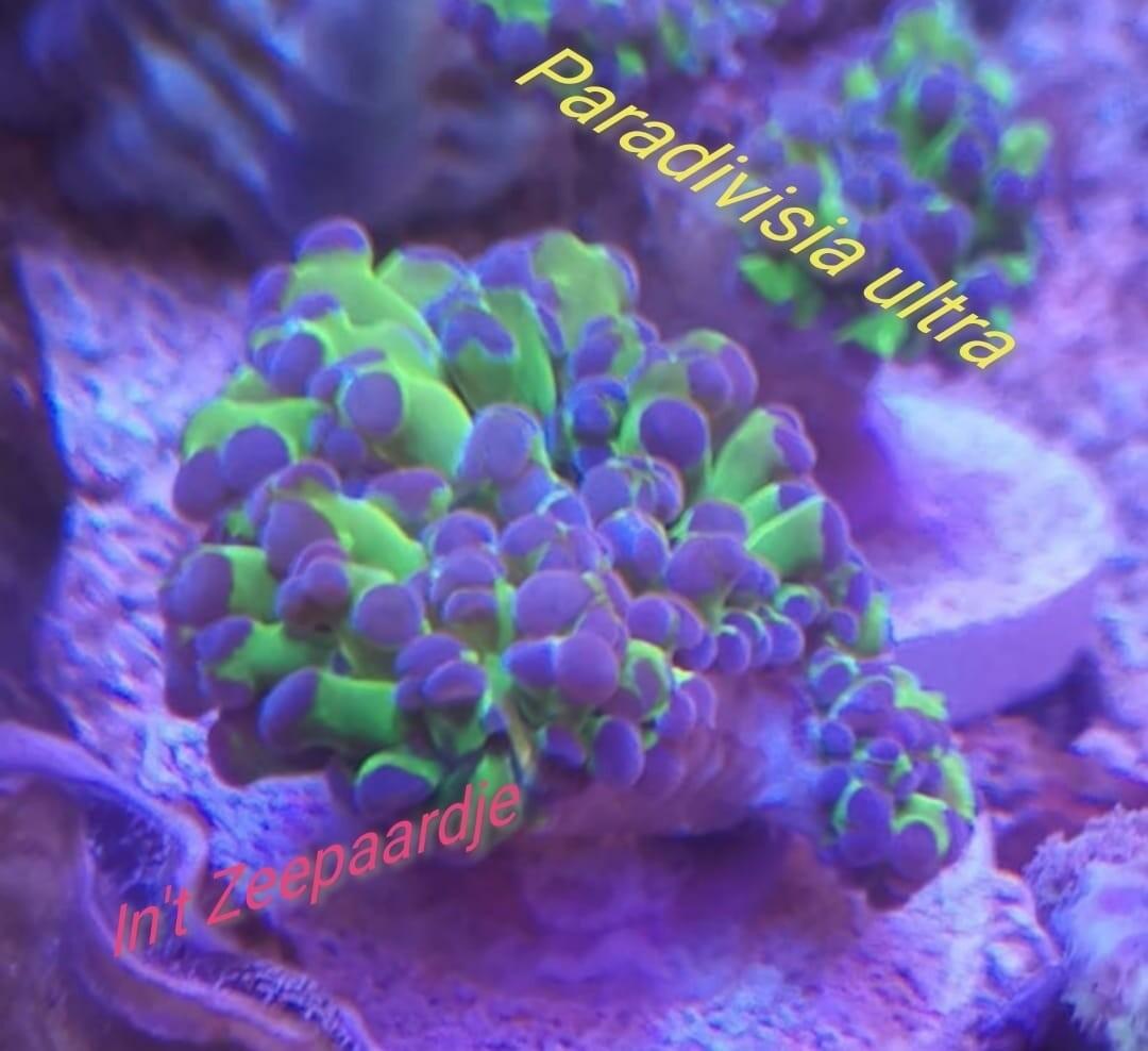 Euphillia Paradivisia ultra 1kop